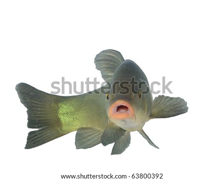 alive tench on white background