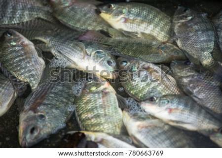 Alive Tilapia fish #780663769