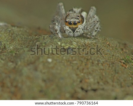 All jumping spiders (Salticidae) have four pairs of eyes, with the anterior median pair being particularly large. #790736164