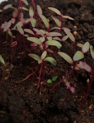 ALL RED AMARANTH TWO WEEKS YEARS OLD