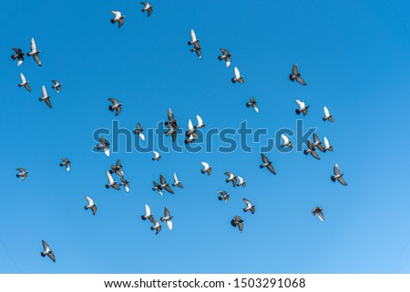 All rock pigeons flying in the clear blue sky. It's symbolic of freedom. Freedom Concept.