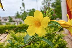 Allamanda cathartica, commonly called golden trumpet, common trumpetvine, and yellow allamanda, is a species of flowering plant of the genus Allamanda in the family Apocynaceae. It's native to Brazil.