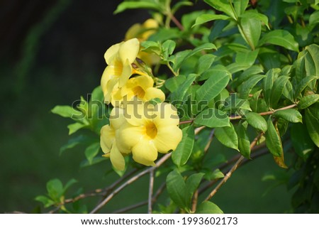 Allamanda cathartica, commonly called golden trumpet,common trumpetvine,and yellow allamanda, is a species of flowering plant of the genus Allamanda in the family Apocynaceae.