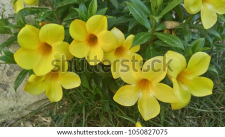 Free photos yellow flower 5 petals avopix allamanda flowers are large with 5 petals petals can bloom throughout the year especially mightylinksfo Image collections
