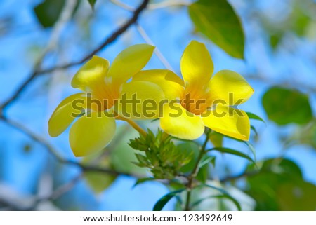 Allamanda or golden trumpet , beautiful yellow flower. Golden Trumpet Vine