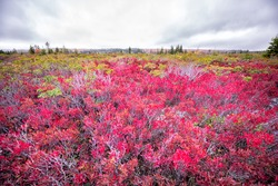 Allegheny mountains at Bear rocks in autumn fall season in Dolly Sods, West Virginia with red colorful bilberry bushes wide angle view on cloudy day