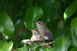Allen's Hummingbird chicks getting ready to leave the nest.  They are nestled in a garden ficus tree.