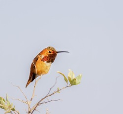 Allen's Hummingbird Perched on a tree branch