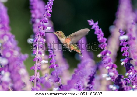 Allen's Hummingbird (Selasphorus sasin) female feeds on Mexican Bush Sage (Salvia leucantha) in South Coast Botanic Garden, Los Angeles, California, USA