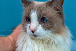Allergic skin diseases in domestic cats. cat's wound from dermatitis. Skin diseases in cats. Cat pimples. Atypical dermatitis in a domestic cat. Feline Allergies in Cats