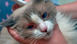Allergic skin diseases in domestic cats. cat's wound from dermatitis. Skin diseases in cats. Cat pimples. Atypical dermatitis in a domestic cat. Feline Allergies in Cats. Combs on the neck of a domest