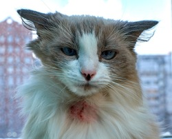 Allergic skin diseases in domestic cats. cat's wound from dermatitis. Skin diseases in cats. Combs on the neck of a domestic cat. Atypical dermatitis in a domestic cat. Cat allergy in cats