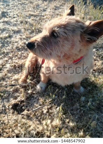 allergy in animals, antipathy, australian terrier, brightness and contrast, brown, canine, closeup, countryside, dog, domestic, domestic animal, environment, grain, grass, hay fever, hyper sensitivity #1448547902