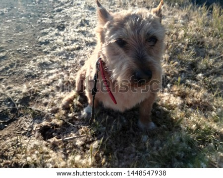 allergy in animals, antipathy, australian terrier, brightness and contrast, brown, canine, closeup, countryside, dog, domestic, domestic animal, environment, grain, grass, hay fever, hyper sensitivity #1448547938