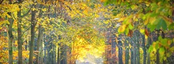 Alley (natural tunnel) of mighty golden deciduous trees, Nachtegalen park. Sunbeams, soft light. Colorful green, red, orange, yellow leaves. Atmospheric landscape. Antwerp, Belgium. Nature, ecology