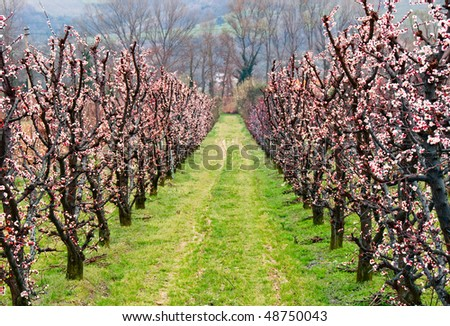 Alley of apricot trees in blossom