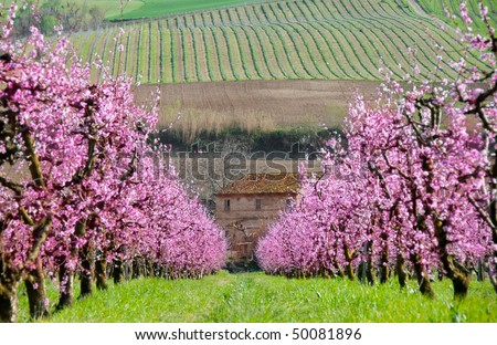 Alley of blooming apricot trees and a farm house against hills