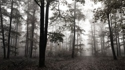 Alley of large oaks in a french forest. Diffused light and fog envelop the black silhouettes of the trunks. A gray November morning. Dead leaves on the ground. Backlight. Desaturated, black and white