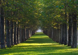 alley of maple trees and green lawn in a park