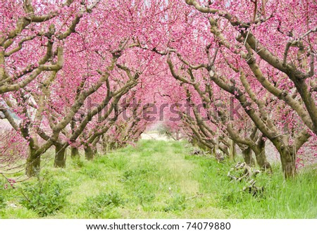 Alley of red fruit trees in blossom