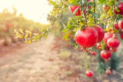 Alley of Ripe pomegranate fruits hanging on a tree branches in the garden. Harvest concept. Sunset light. soft selective focus, space for text