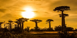 Alley of the Baobabs with leaves during the golden sunset with clouds above  near Morondava, Madagascar