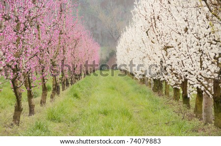 Alley of white and rose fruit trees in blossom