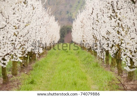 Alley of white  fruit trees in blossom