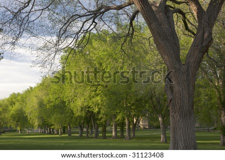 Alley with old American elm trees at the Oval of Colorado State University campus - landmark of Fort Collins