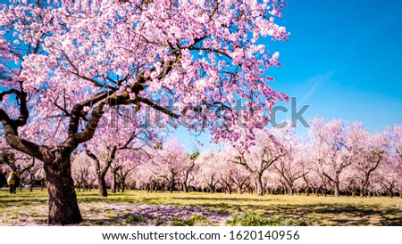 Alleys of blooming almond trees with pink flowers in Madrid, Spain. Pink almond trees in bloom at Quinta de los Molinos city park downtown Madrid at Alcala street in early spring. Foto stock ©