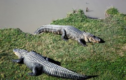 Alligator Alley has 20 acres of natural cypress swamp land, where alligators roam freely in a protected environment