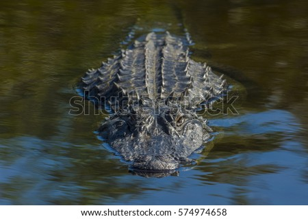 Alligator/Alligator close and upfront