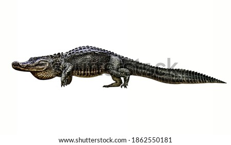 Alligator (Alligator mississippiensis) realistic drawing illustration for animal encyclopedia, isolated image on white background