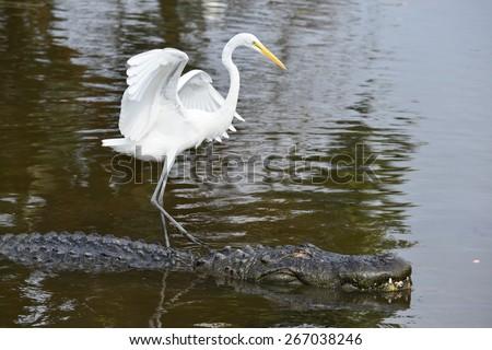 Alligator and blue heron companion