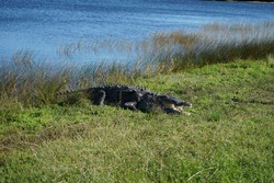 Alligator at a lake shore