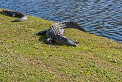 ALLIGATOR BY THE CLUB HOUSE