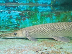 Alligator fish, another type of fish-eating fish with long mouth characteristics that resemble alligators.