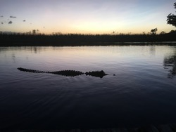 Alligator floating on the water, Florida Everglades at sunset.