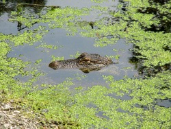 Alligator floating or swimming in swampy green water.