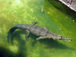 Alligator floats in the water at the Honolulu Zoo on Oahu, Hawaii