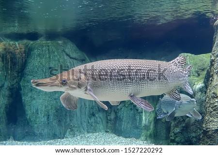 Alligator Gar in freshwater aquarium, selective focus. Photo stock ©