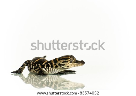 Alligator Hatchling
