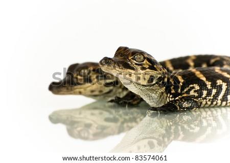 Alligator Hatchling