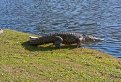 ALLIGATOR HEADING TO THE WATER