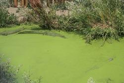 Alligator hiding in algae covered water