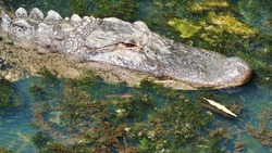 Alligator in a lake downtown Augusta