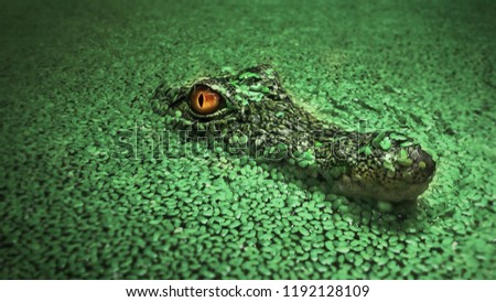 alligator in a swamp, Florida Alligator in close up portrait, crocodile animals eyes closeup. Alligator sunbathing on grass, Closeup portrait of crocodile head, Alligator or crocodile concept,
