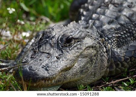 Alligator in Florida Swamp