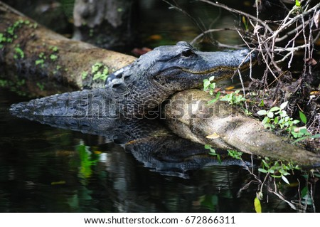 Alligator in the Swamps of the Florida Everglades