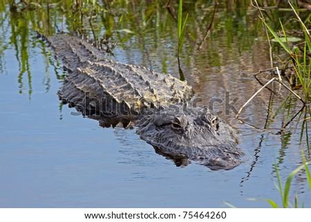 Alligator in the wild,Upper Myakka Lake,Sarasota,Florida